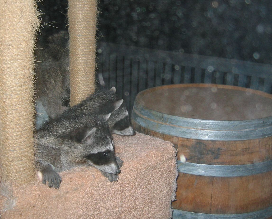 Cat and Racoon 018- small.jpg