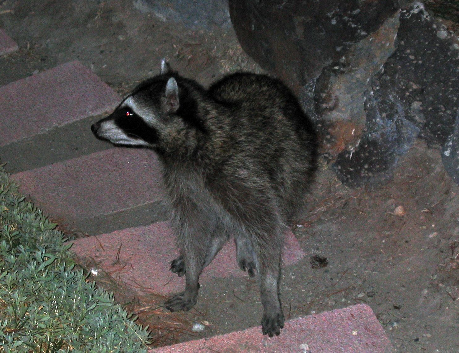 Cat and Racoon 021.jpg